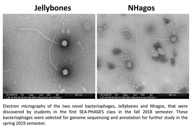Jellybones (Left) and NHagos (Right) Electron micrographs of the two novel bacteriophages, Jellybones and NHagos, that were discovered by students in the first SEA-PHAGES class in the fall 2018 semester. These bacteriophages were selected for genome sequencing and annotation for further study in the spring 2019 semester